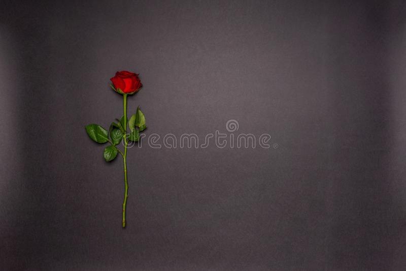 Single fresh red rose flower on black background. Love, romance or Valentine`s day concept. Greeting card with space for text. stock photography