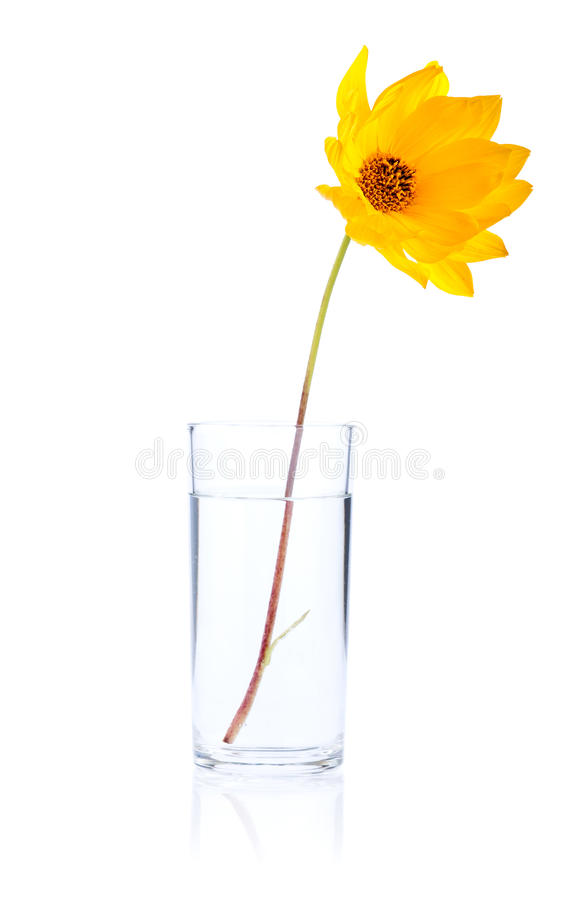 Single Fresh yellow flower in glass water Isolated. On white background royalty free stock photography