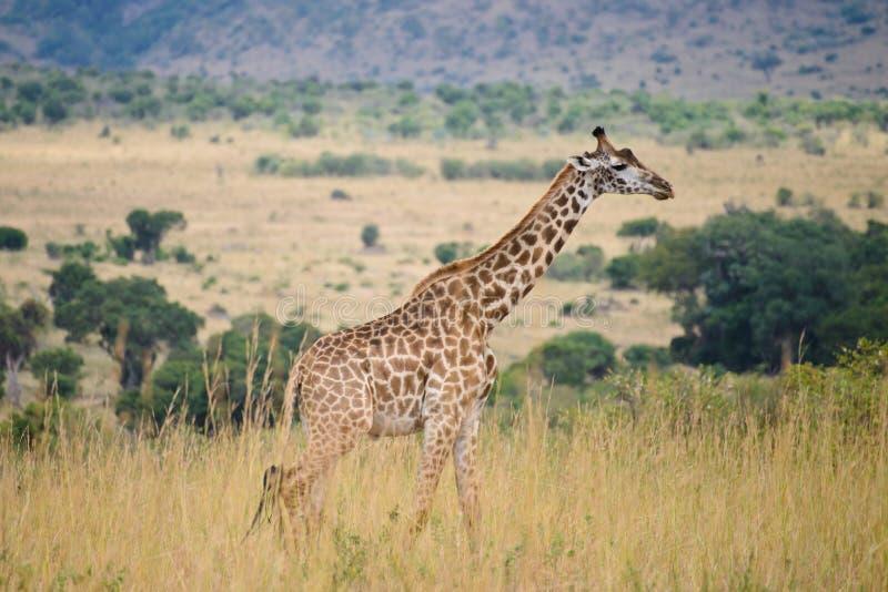 A single giraffe royalty free stock photo