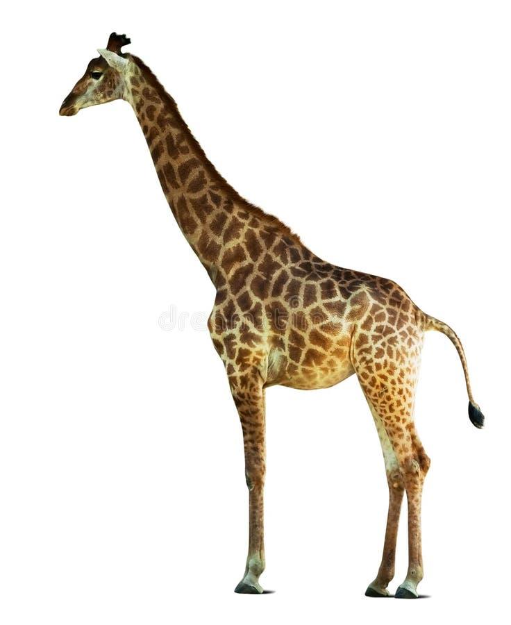 Single giraffe stock image