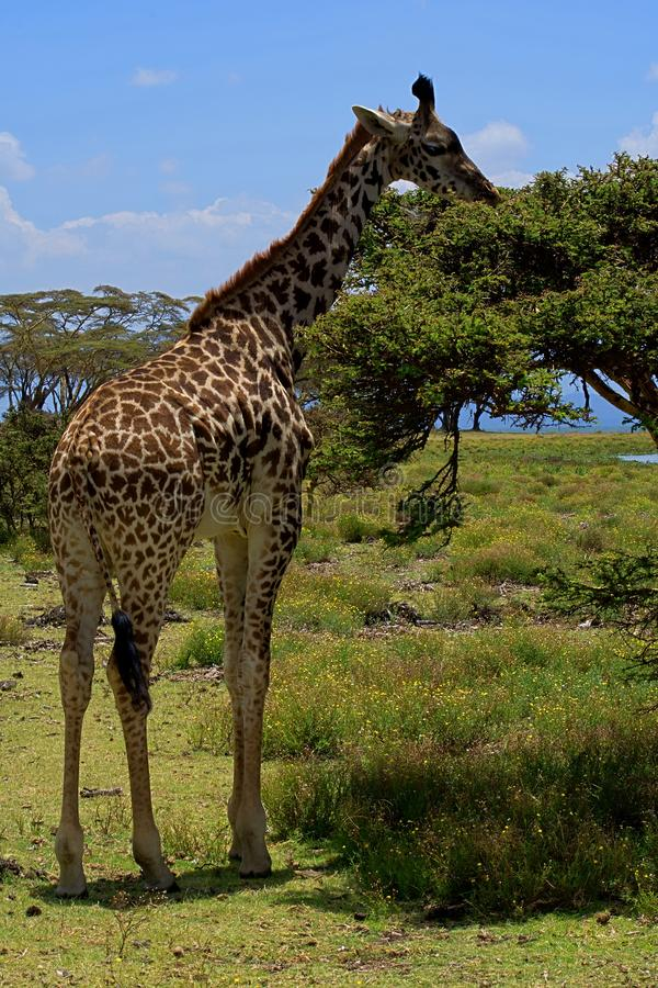 Single giraffe eating from a tree, wide angle photo take from so close stock images