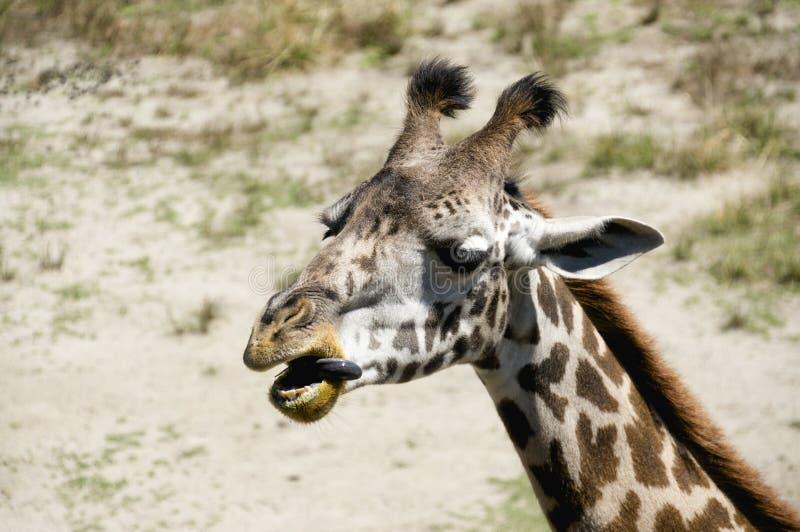 Single Giraffe Headshot Sticking His Tongue Out stock photo
