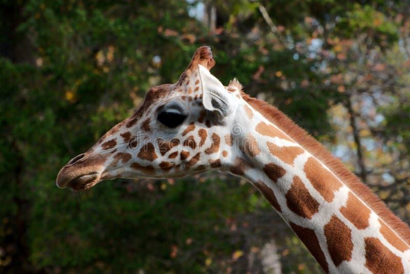 Single giraffe standing stock photos