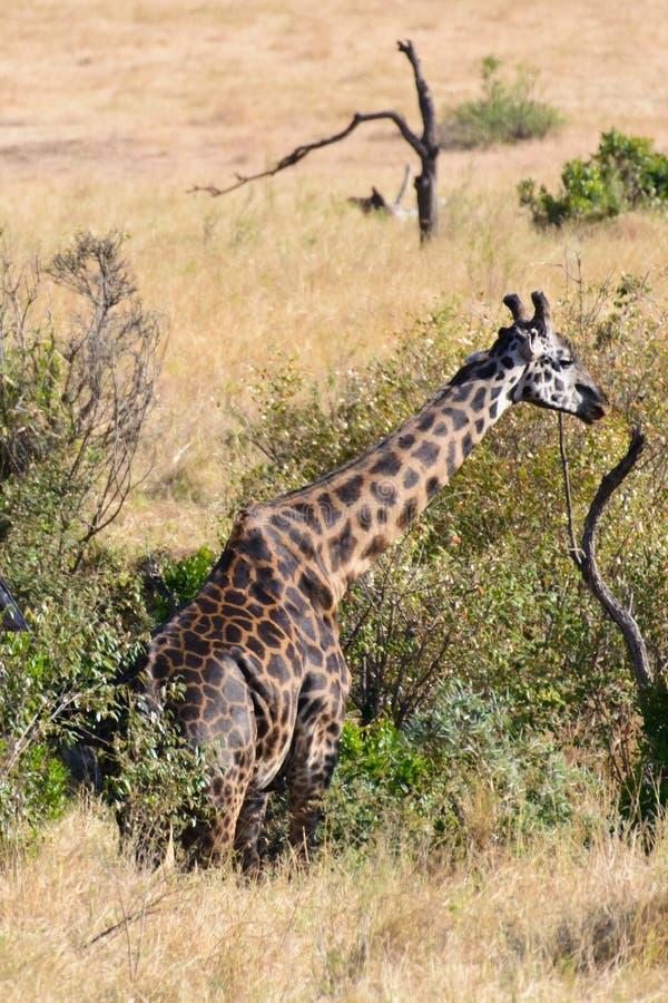 A single giraffe stock image