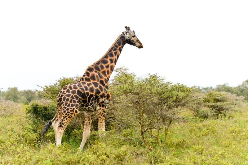 A single giraffe stock images