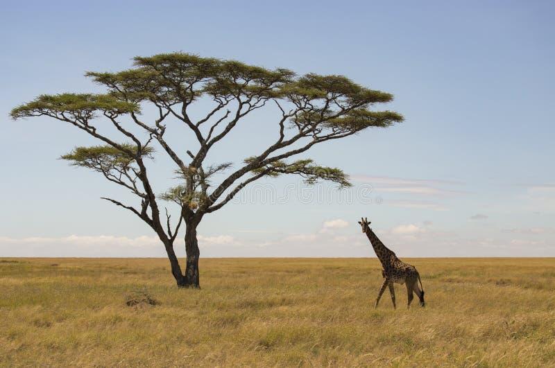 Single giraffe walking to lone acacia tree with small bird on neck stock photo