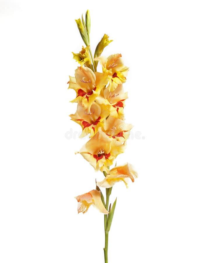 Single Gladiolus stock photo
