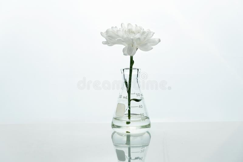 Single glass flask with white flower in  water in genetic biotechnology science laboratory white background. Single glass flask with white flower in  water in royalty free stock photography
