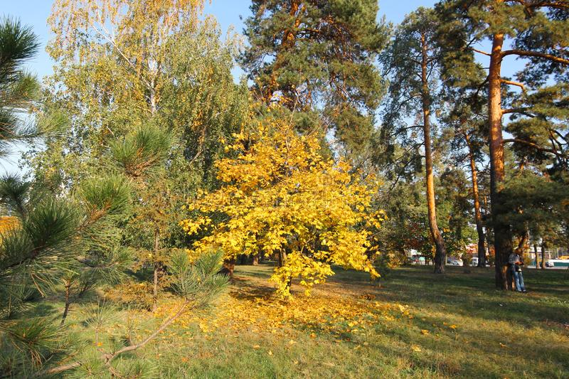 Single golden colored autumn tree standing in the park. one yellow tree in the park. deciduous trees. the tree leaves the leaves royalty free stock photo