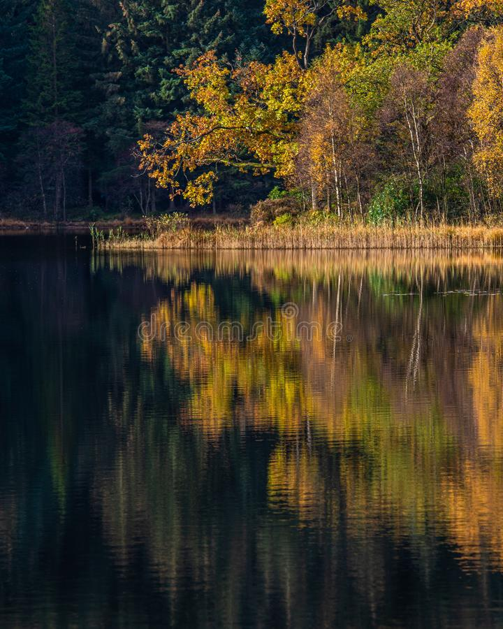 A single Golden Tree at Loch Chon royalty free stock images