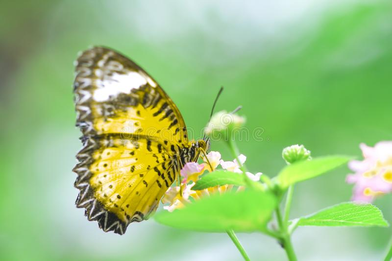 Single green butterfly on  colorful lantana camara flower blooming in garden , natural background stock photography