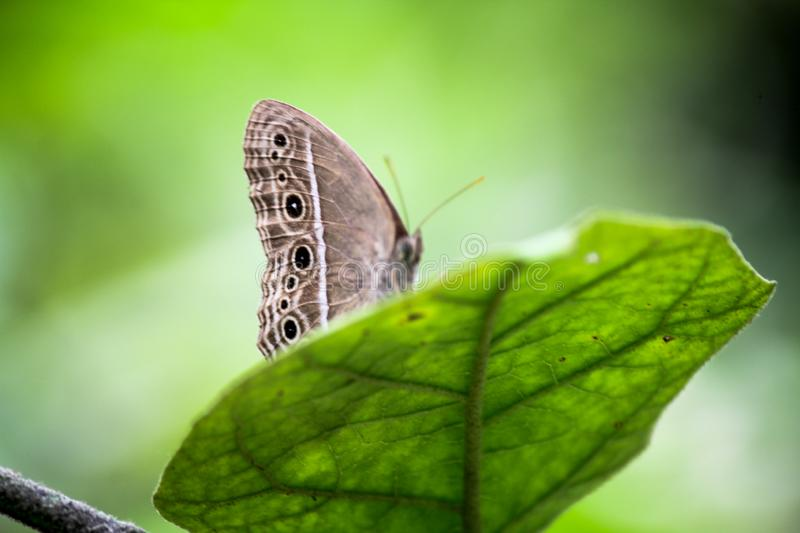 A single green butterfly perched on a brown leaf royalty free stock photography