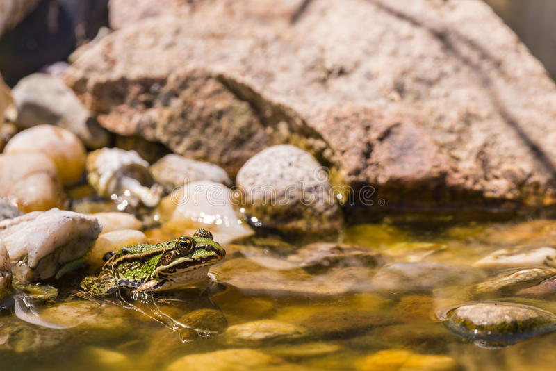 Single green frog sits in shallow lake on stone royalty free stock image