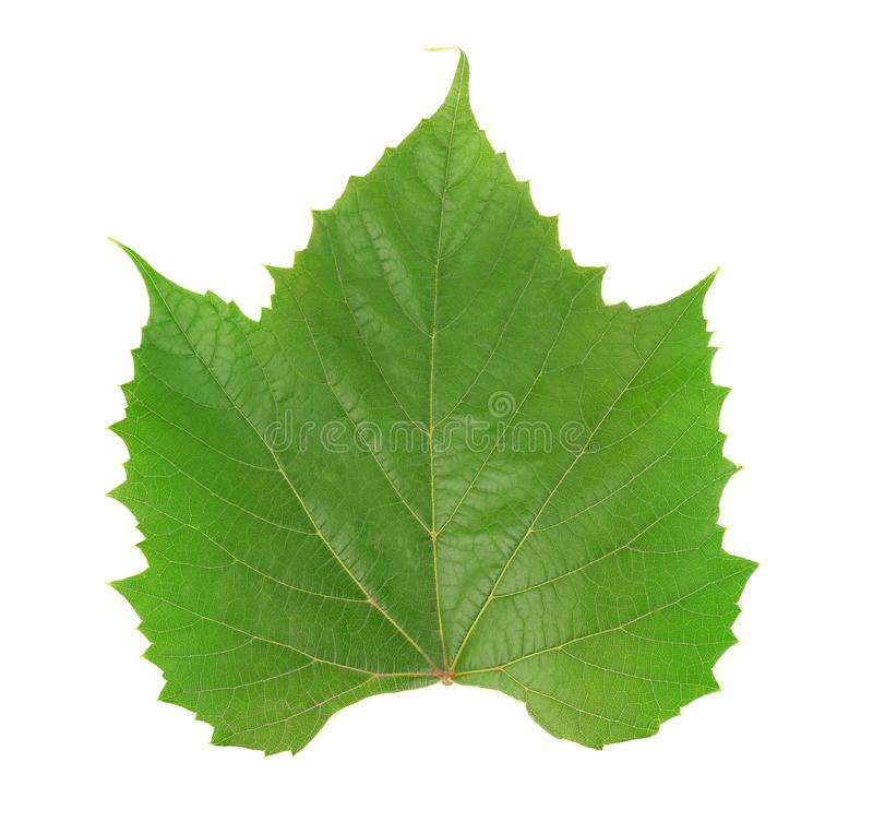 Single green grape leaf royalty free stock photo