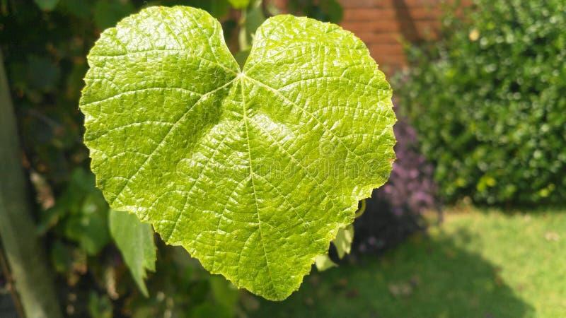 Single green Heart shaped vine leaf royalty free stock photo
