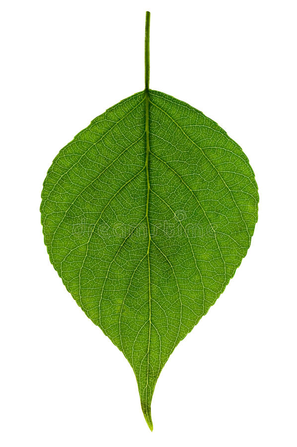 Download Single green leaf stock photo. Image of organic, branch - 24620898