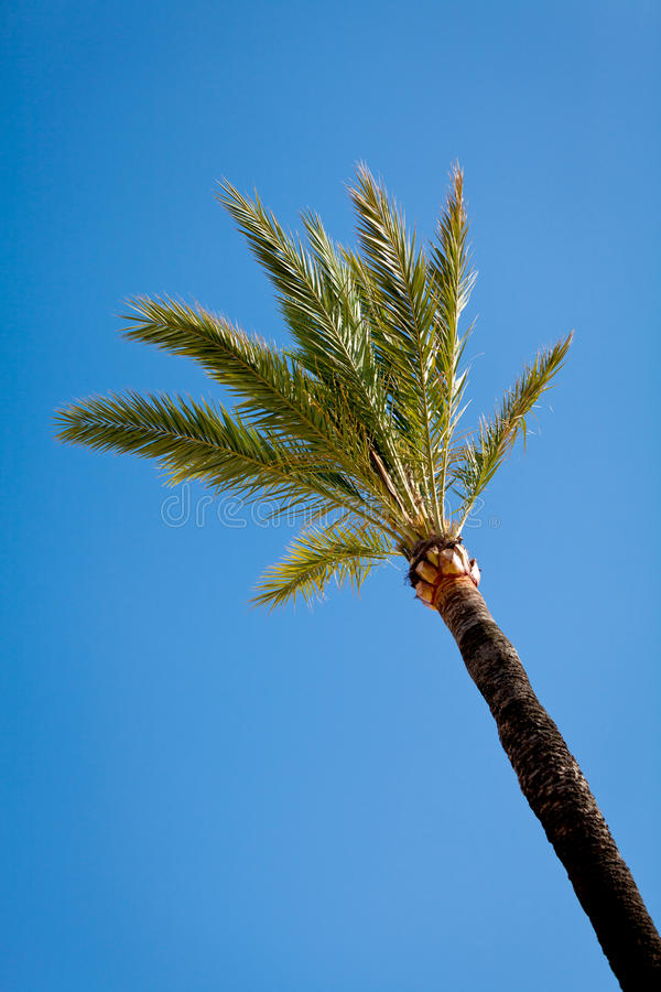 Single green palmtree on blue sky background royalty free stock photos