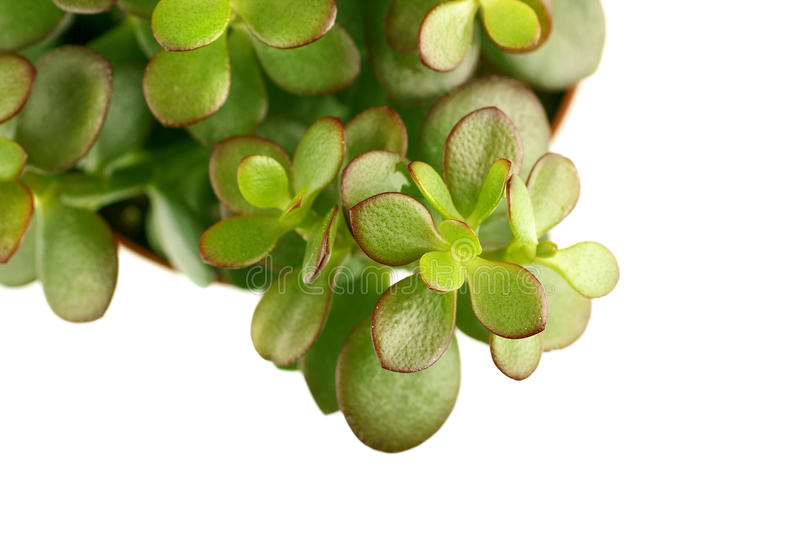 Download Single Green Succulent Plant Stock Photos - Image: 9394453