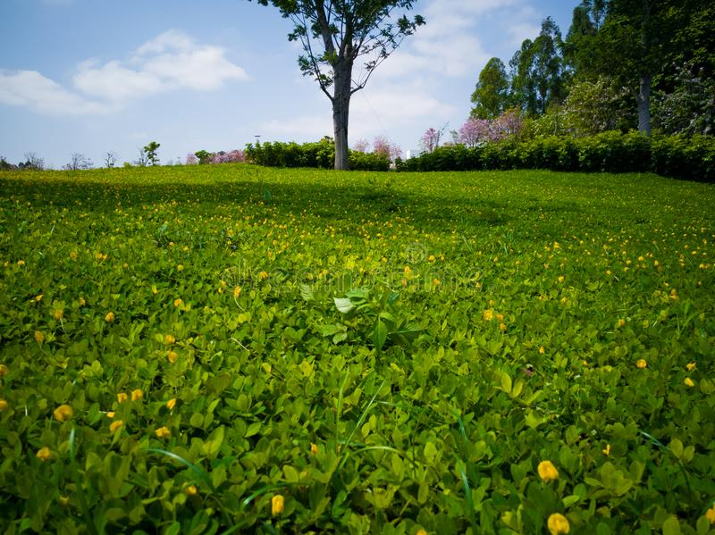 The lawn with Green tree in spring royalty free stock image