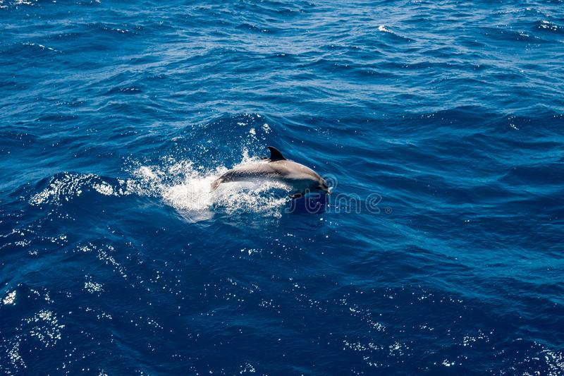 Single grey dolphin jumping on waves in deep blue waters of atlantic ocean off the coast of Gran Canaria island in spain stock photography