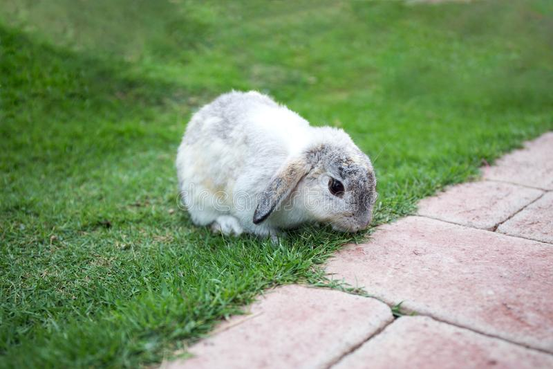 Single grey rabbit on green grass field royalty free stock image