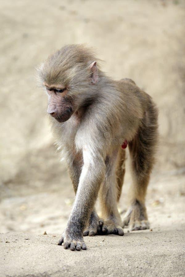 Single Hamadryas baboon in zoological garden. Single african Hamadryas baboon walking in zoological garden stock images