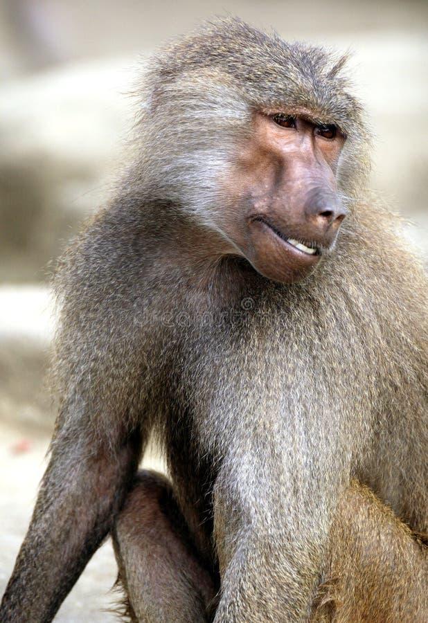 Single Hamadryas baboon in zoological garden. Portrait of a single Hamadryas baboon in zoological garden stock image