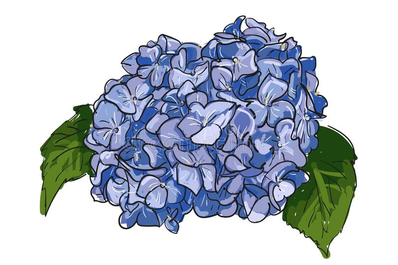 Single hand drawn blue lilac hydrangea on white background. Summer Vintage Blooming Hydrangea , hand-drawing beautiful flower vector illustration