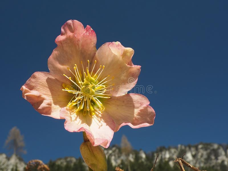 Single hellebore pink flower close-up. With deep blue sky behind royalty free stock photo