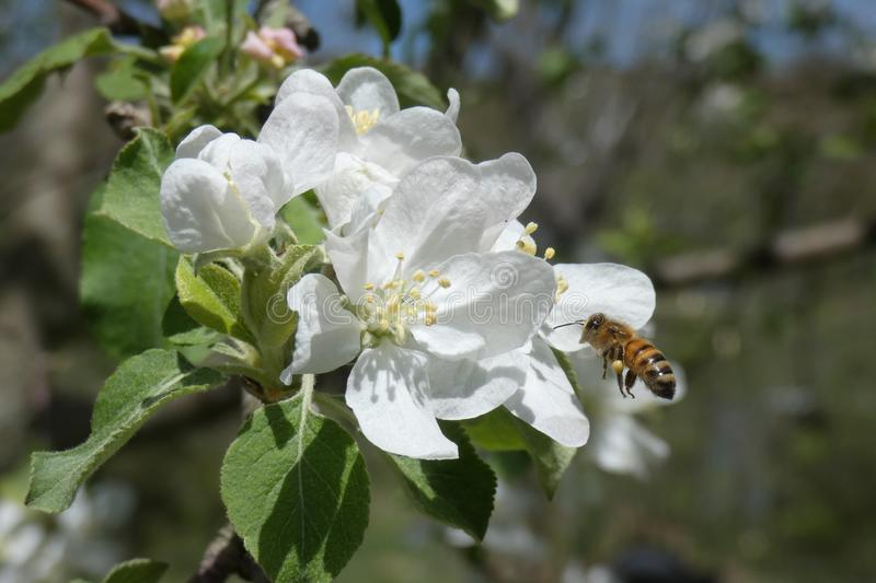 Single Honey Bee Flying Into White Apple Blossom Closeup royalty free stock photography