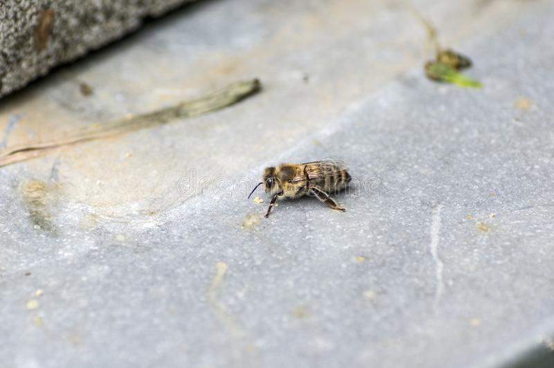 Single honey bee sitting on a grey underground royalty free stock photography