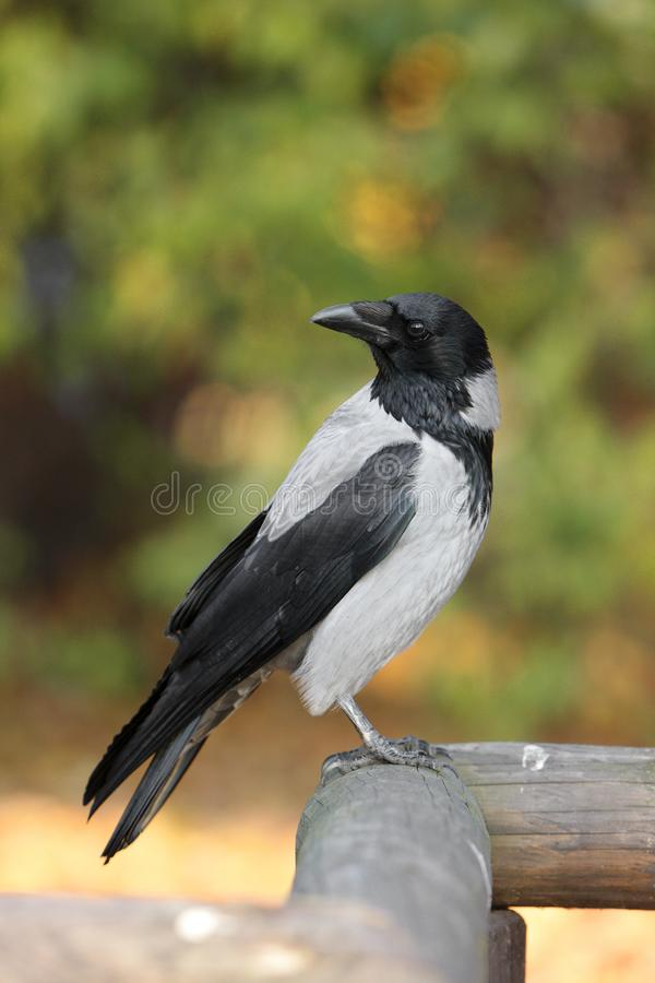 Single Hooded crow bird on a wooden fence during an autumn period stock image