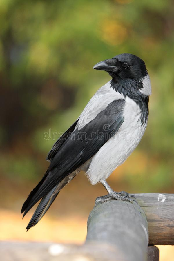 Single Hooded crow bird on a wooden fence during an autumn period stock photography
