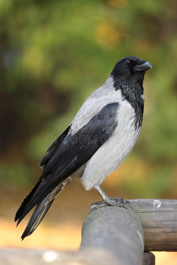 Single Hooded crow bird on a wooden fence during an autumn period royalty free stock image