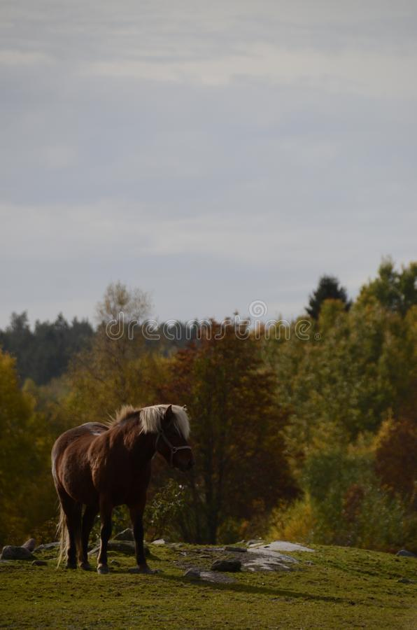 Single horse in stony field and fall colors in background forest royalty free stock photos