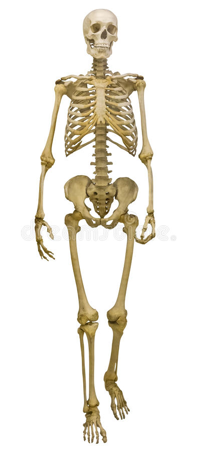 Free Single Human Skeleton On White Royalty Free Stock Photo - 30079295