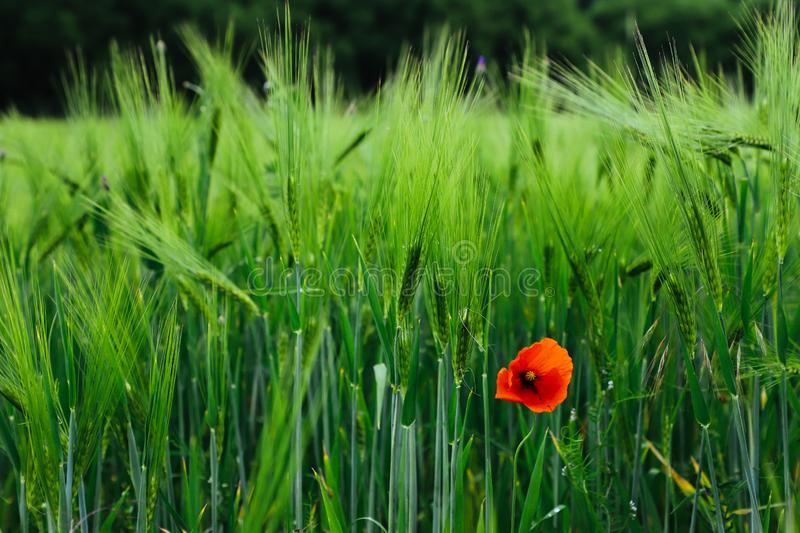 A single isolated lonely red poppy wild flower growing amongst green crops field.  stock photography