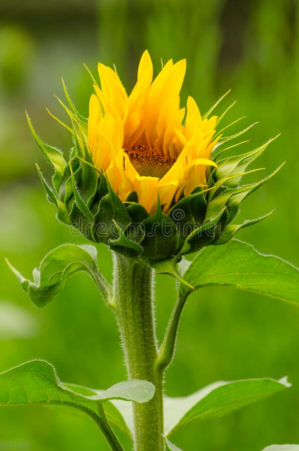 Free Single Isolated Yellow Sunflower Opening Its Petals Stock Photography - 169937252