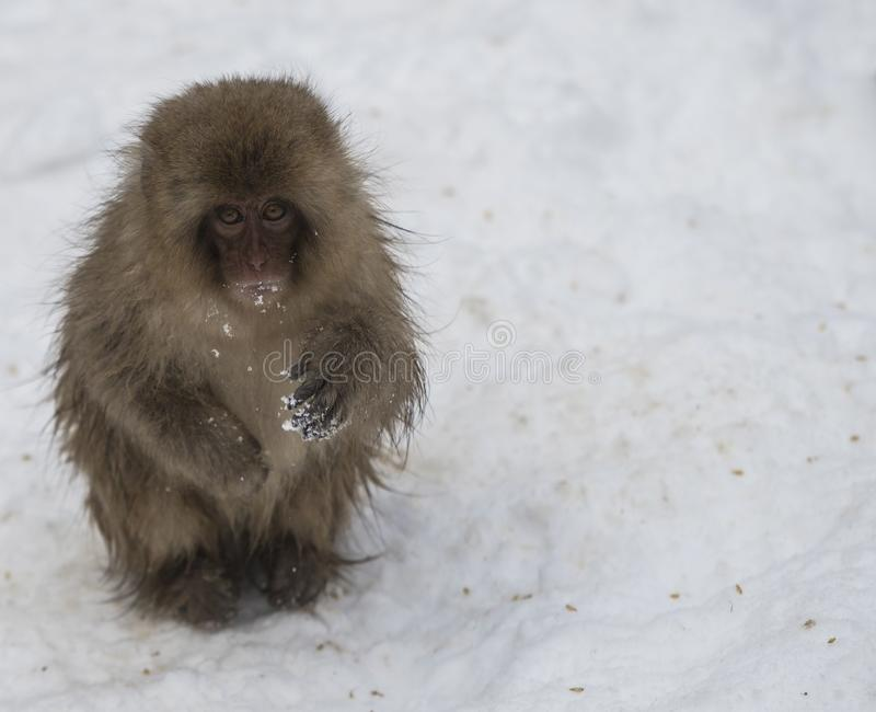 Single Japanese macaque or snow monkey, Macaca fuscata , sitting in snow with snow on hands. looking at camera with sad eyes. J. Oshinetsu-Kogen National Park stock photography