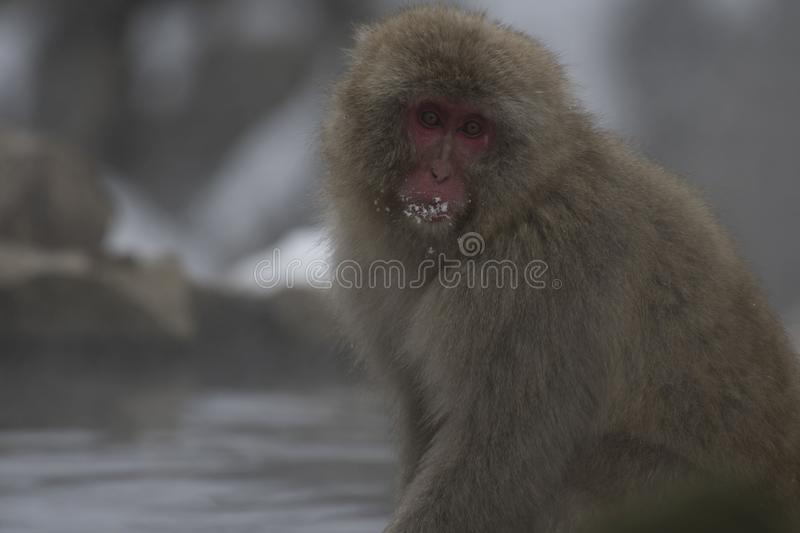 Single Japanese macaque or snow monkeys, Macaca fuscata , sitting on rock of hot spring, with snow on his mouth and looking at. Camera with big eyes. Joshinetsu stock photo