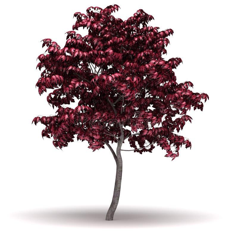 Single Japanese Maple Tree. Single Acer Japonicum Tree ( white background stock illustration