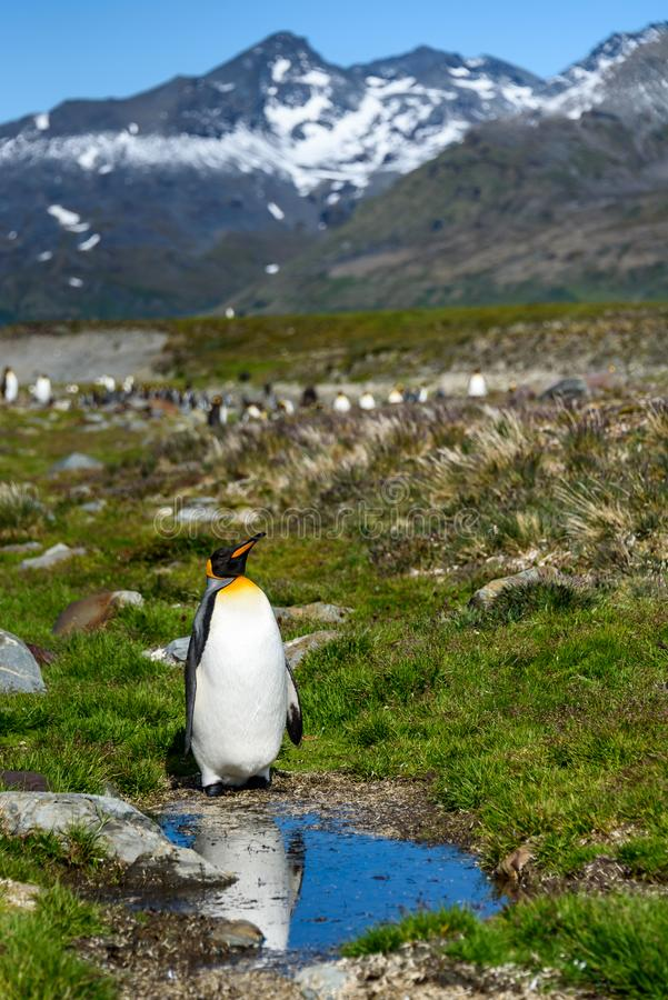 Single King Penguin standing enjoying the sun next to a small pond, part of a large King Penguin colony in the beautiful landscape royalty free stock photos