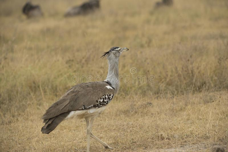 Masai ostrich, also known as the pink-necked ostrich royalty free stock images
