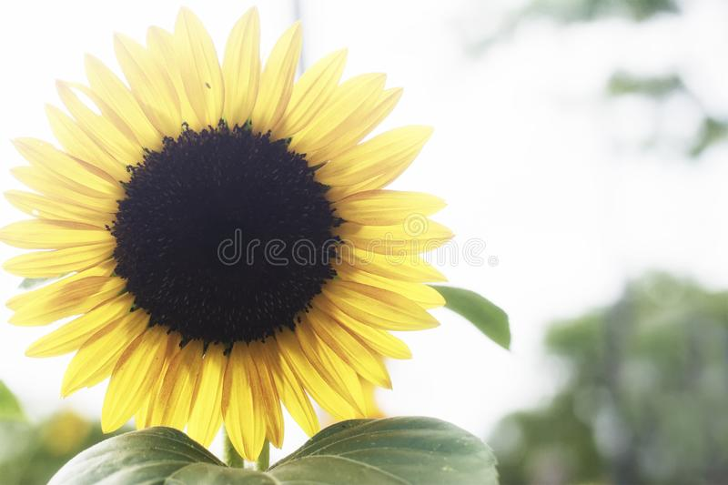 A single large yellow sunflower on a sunny summer day royalty free stock image