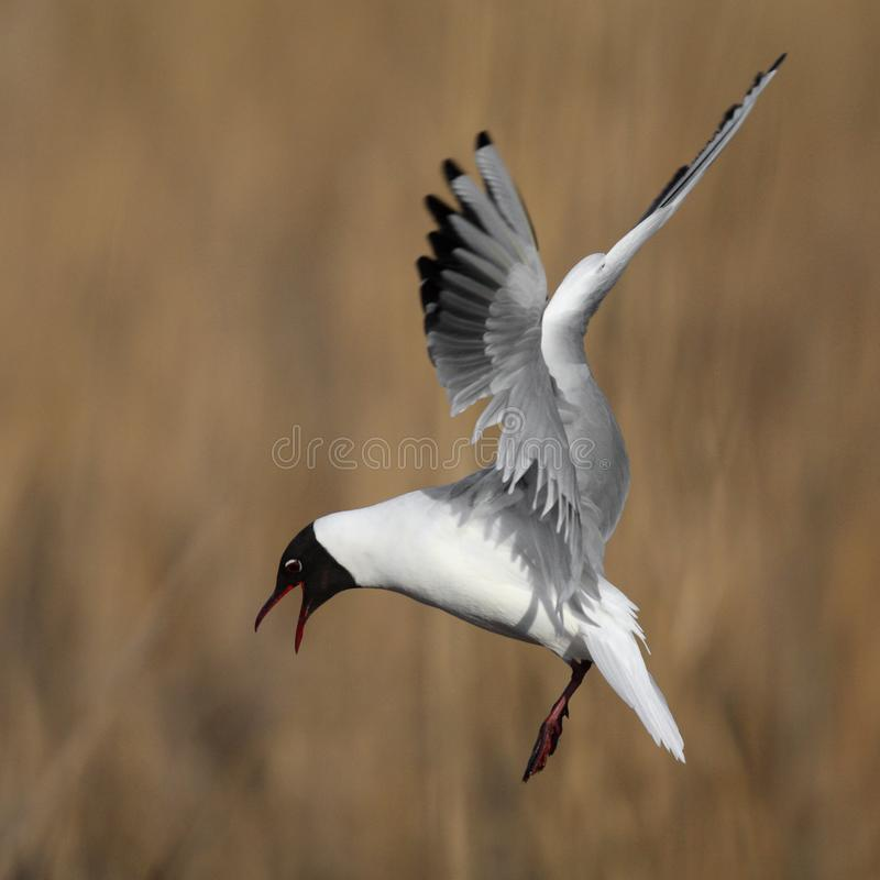 Single Laughing gull in flight among reed stems during a spring. Period stock images