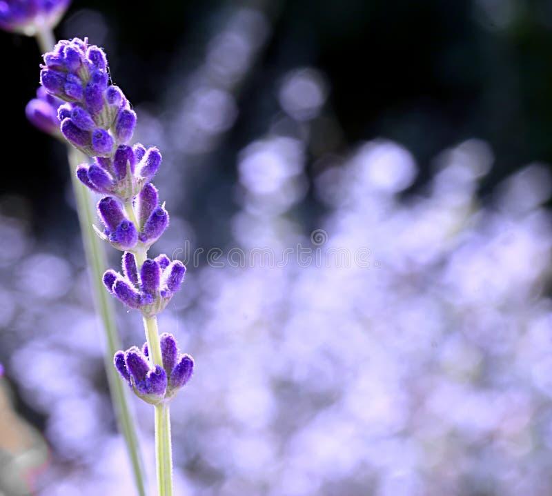 Single Lavender royalty free stock photos