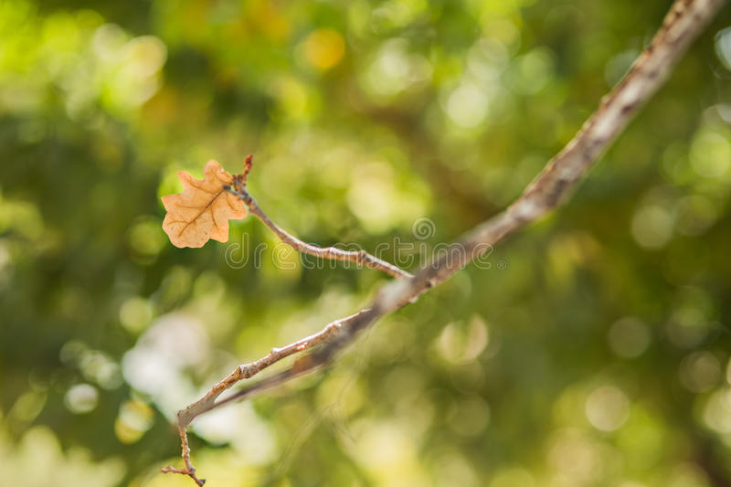 Single leaf background. Singe leaf on tree , fall season background stock images