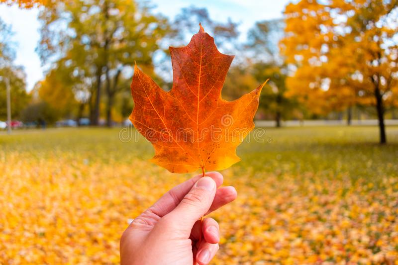 Single Leaf Held in Lincoln Park Chicago During Autumn royalty free stock photo