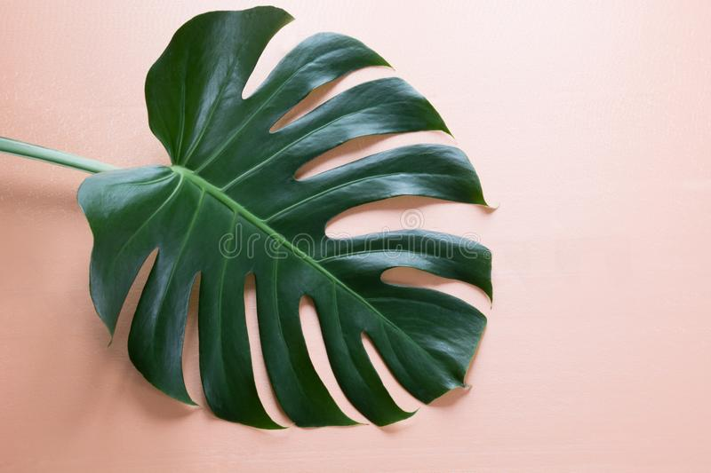 Single leaf of Monstera plant on pink background. Close up, with copy space. stock photography
