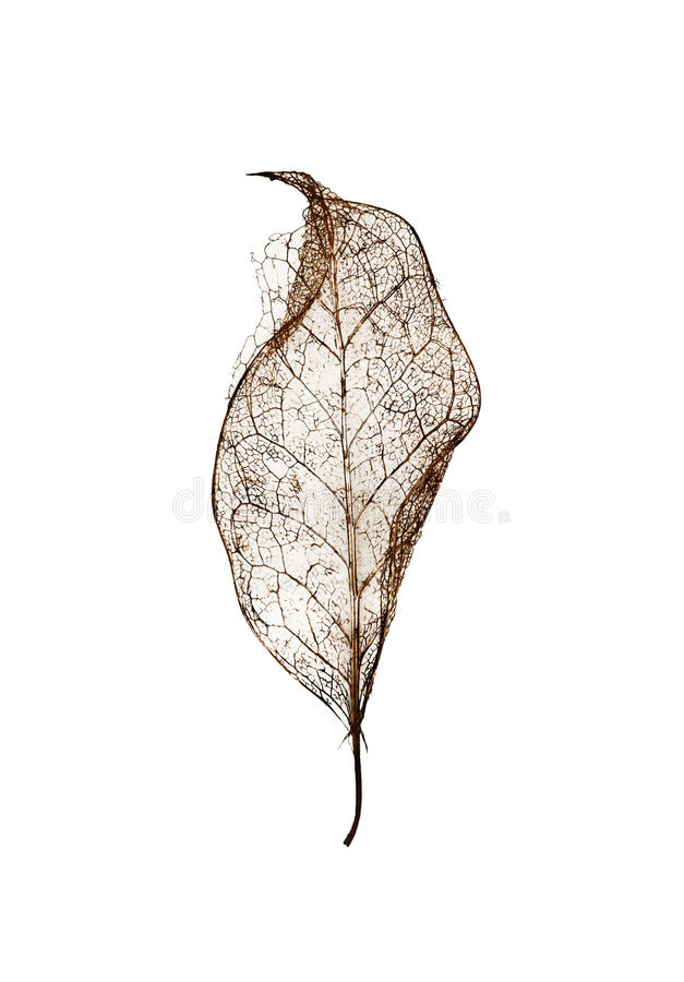 Single leaf skeleton with no background royalty free stock images